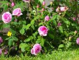 Цветущий розовый куст на базе отдыха