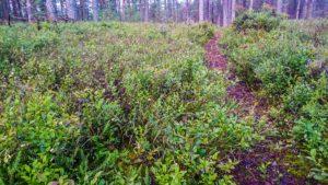 Кусты черники в сосновом лесу у базы отдыха Розовая дача