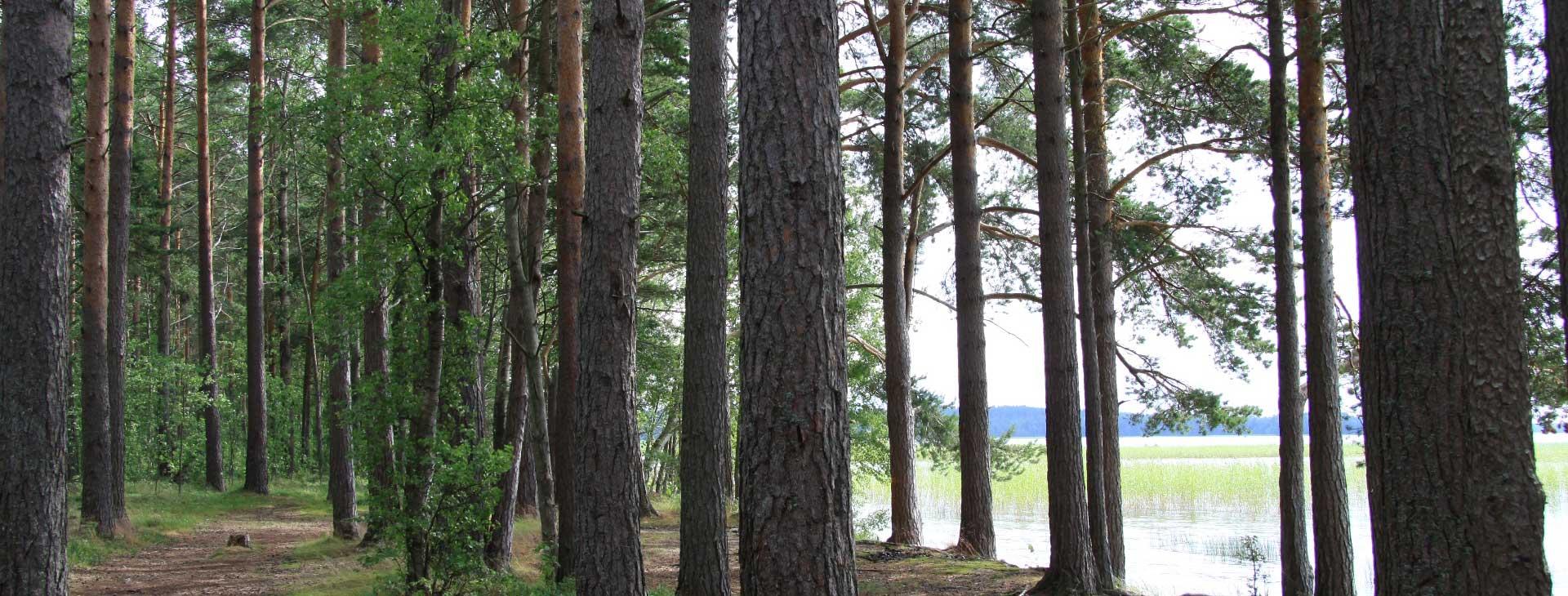 Сосновый лес у базы отдыха Розовая дача