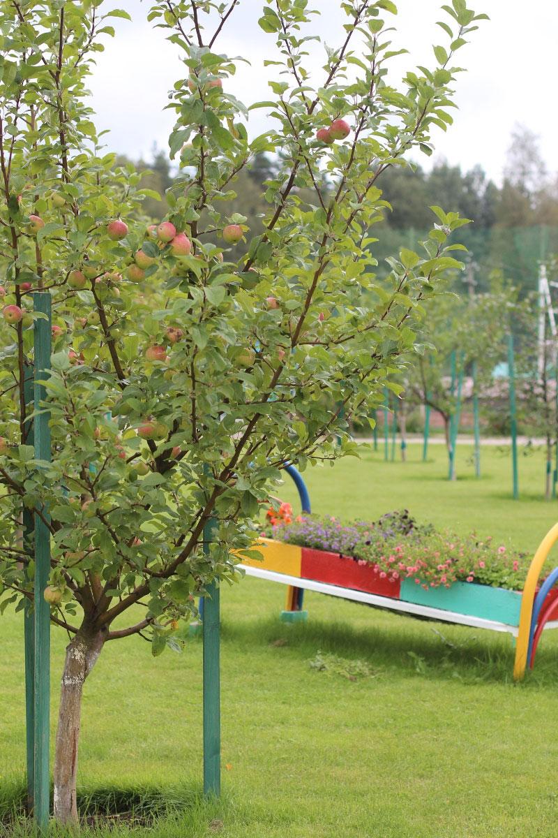 Яблоня в Фруктовом саду