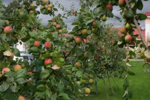 Яблоки на яблоне. База отдыха Розовая дача