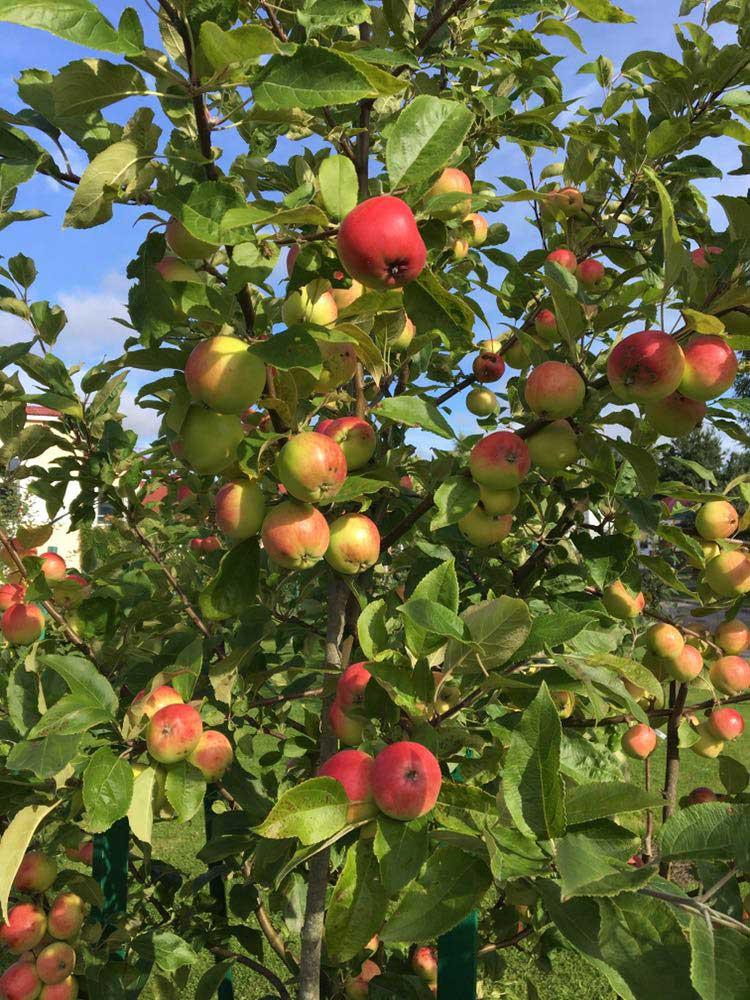 Полная яблоня яблок. База отдыха Розовая дача