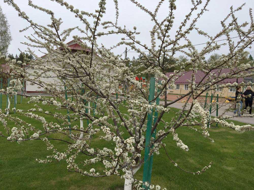 Сад цветение деревьев. База отдыха Розовая дача