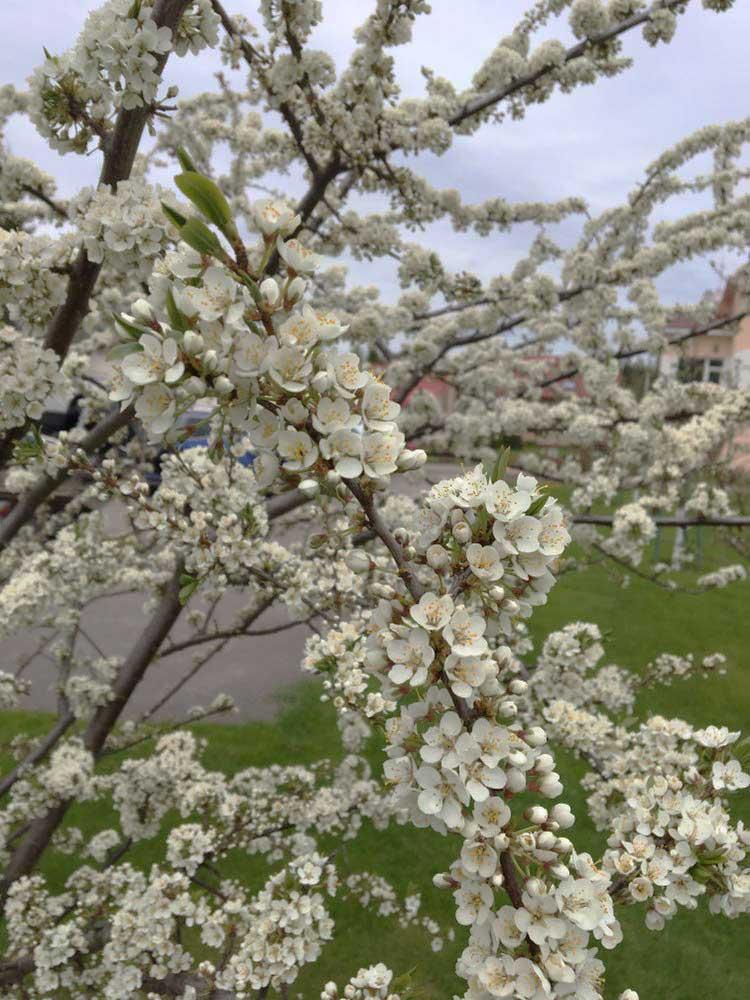 Ветки цветущей яблони. База отдыха Розовая дача