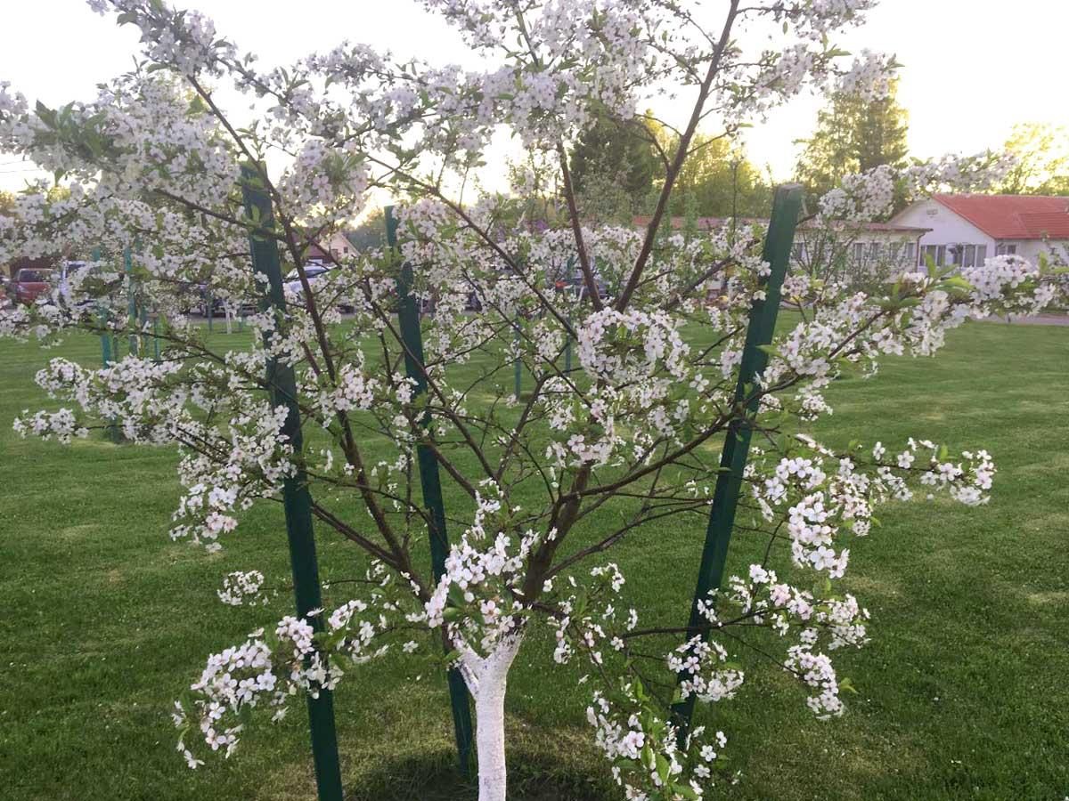 Цветущий фруктовый сад. База отдыха Розовая дача