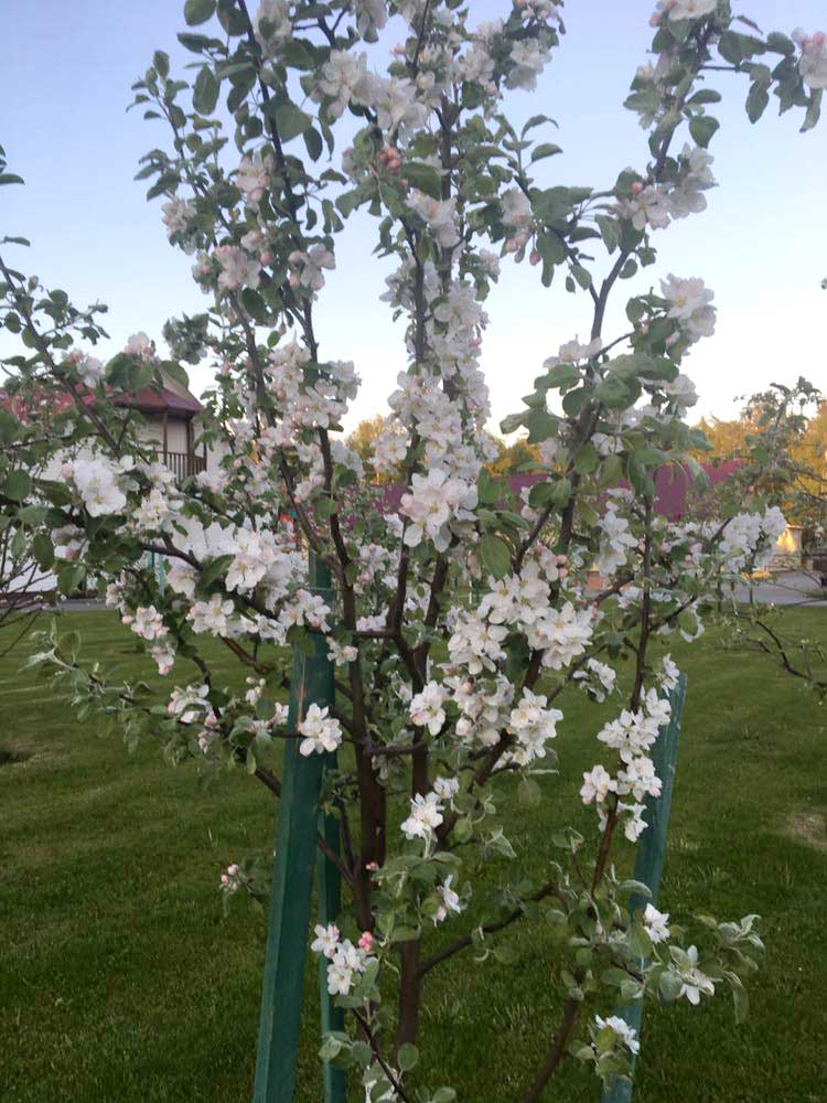 Цветение яблонь в саду. База отдыха Розовая дача