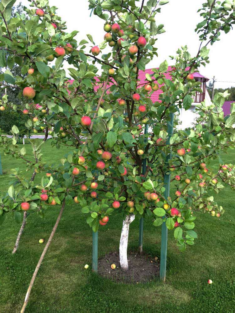 Подпираем ветки яблони. База отдыха Розовая дача